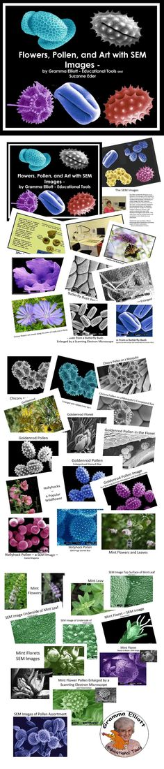 This PDF file contains photographs of these flowers, along with images from a Scanning Electron Microscope of some of the leaves, petals, and pollen of each:  Butterfly Bush Chicory Goldenrod Hollyhock Mint