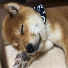 """6,398 Likes, 56 Comments - ProudShibas (@proudshibas) on Instagram: """"一睡 🍼🐶😪 Nap By @momofuku_1103 ' #shibainupuppy #proudshibas #柴 #柴犬 #shiba #shibainu #shibastagram…"""""""