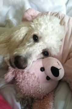 White Poodle with friend all love