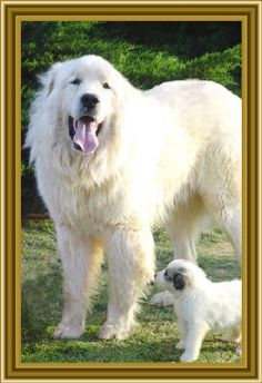 Adorable Great Pyrenees.  Yes - that cute fluffy little adorable puppy is going to grow into that amazing fluffy wonderful BIG WHITE DOG!  (only adopt a Pyr if you like really BIG dogs). :)