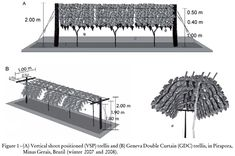 Physiological responses and production of 'Syrah' vines as a function of training systems