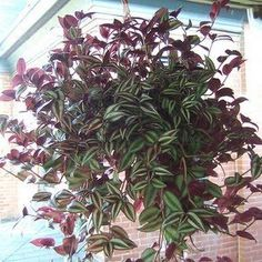 Caring for your Wandering Jew plant ... being anything but a green thumb, this is my go to hanging basket plant, beautiful, hardy, and forgiving.