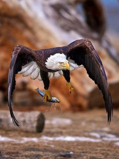 "♂ Wildlife photography bird eagle from ""Stick and fly"" by  Buck Shreck from http://500px.com/buckswildlifephotography"