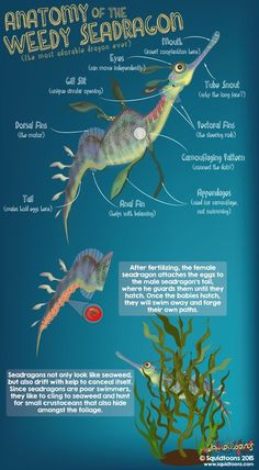 Anatomy of the Weedy Seadragon (Phyllopteryx taeniolatus) aka the common seadragon