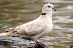 Eurasian Collared Dove or Ringed-turtle Dove at George C. Reifel Migratory Bird Sanctuary, Delta, BC_ Canada
