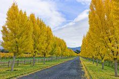 Ginko trees lining a vineyard driveway Farm Entrance, Driveway Entrance, Driveway Landscaping, Country Landscaping, Ginko Tree, Tree Lined Driveway, Long Driveways, Colorful Trees, Big Tree