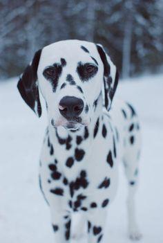@viljodalmatian cute dalmatian puppy