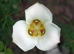 images of state flowers | Utah's state flower, the sego lily, by ...