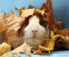Autumn leaves Guinea pig