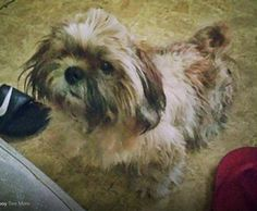 #LostDog *TOBY* male Shih Tzu - #SouthHouston #TX #77587  -- Lost Dog Toby on July 02, 2014