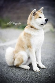 Shadow - Akita Inu by ZEYKAH, via Flickr