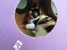 A Mia adora relaxar no Corrucat!  Corrucat é bom demais para os gatos, de papelão resistente 100% reciclável.  #Mia #Corrucat #papelão #cardboard #gatos #cats #brinquedo #toy #shelter