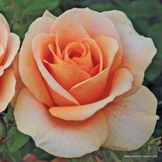 Rosa 'Bengali' (KORDES)