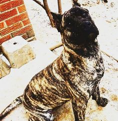 #frankfurt #london #москва #instadog #presa #presacanario #morningamigos #goodmorning #dogge #dog #dogphotography #presalove #presalife #presacanariolife #presacanariosofinstagram #presacanariolove #follow #trend #sun #goodthink #instagram #workingdogs #fordogtrainers_fdt #fit