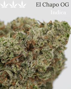 This potent AAA grade Indica strain EL CHAPO OG derives straight from California! These dense buds are covered in a shimmering layer of trichomes, and give off a delicious aroma of citrus, pine, and earth. This strain is preferred near the end of the day as it's effects are rather sedating. 🤤😴#elchapoog #indica #weedporn  #Regram via @professorwmo Indica Strains, Cannabis Edibles, Glass Bongs, Cbd Hemp Oil, Smoke And Mirrors, Bud, Oklahoma, Health And Wellness, Vacations