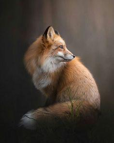 Beautiful Photography by ©Alicja Zmystowska #Wildgeography Fox