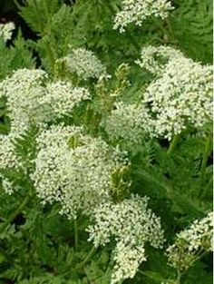 All Plants > Myrrhis odorata Beth Chatto, Mail Order Plants, Cow Parsley, Alpine Plants, Herbaceous Perennials, White Gardens, Shade Plants, Shade Garden, Green Leaves