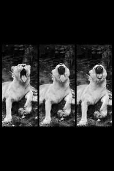 Lion qui baille