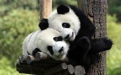 pandas in love lol (laugh out loud)