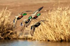 Fall at the duck pond Hunting Tips, Duck Hunting, Turkey Hunting, Hunting Crafts, Hunting Stuff, Hunting Photography, Duck Season, Photo Animaliere, Ducks Unlimited