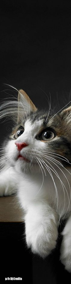 .Gorgeous Kitty Cat.
