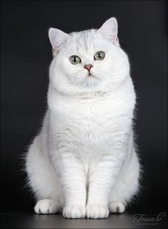 tessochka: Shaded Silver  British shorthair male