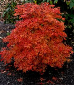 x in 10 yrs. perfect by the patio and back window. Klehm's Song Sparrow Farm and Nursery--Woody Plants--Acer japonicum 'Fairy Lights' Fairy Garden Plants, Garden Shrubs, Garden Trees, Shade Garden, Trees And Shrubs, Trees To Plant, Dwarf Japanese Maple, Baumgarten, Landscaping Supplies
