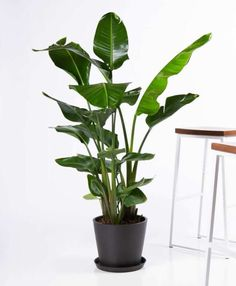 Buy Potted Bloomscape Bird of Paradise Indoor Plant Greater Bird Of Paradise, Bird Of Paradise Yoga, Bird Of Paradise Tattoo, Birds Of Paradise Plant, All Plants, Indoor Plants, House Plants, Hanging Plants, Potted Plants