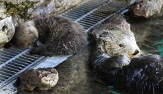 Baby Sea Otters | Names for Seattle's baby sea otter will be up for voting next week ...