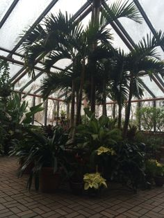 It may be cold outside now but the Meyer-Deats Conservatory is always warm and inviting.  The centerpiece of this plant grouping is a Manila Palm or Veitchia Merrillii