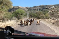 Stay out of the trees! Goats love to eat argan fruit and are probably on their way to the next meal.