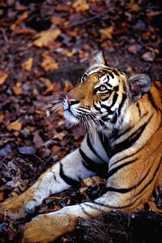 earthlynation: Bengal Tiger by Catman-Suha Bengalischer Tiger, Tiger Love, Bengal Tiger, Tiger Cubs, Siberian Tiger, Bear Cubs, Big Animals, Animals And Pets, Beautiful Cats