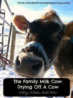 How to Dry Off Your Family Milk Cow To Prepare For Calving