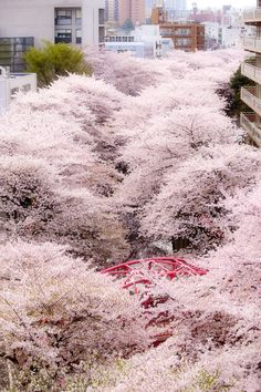 A Natural Covering of Japane Cherry Bossoms, Nakameguro, Tokyo by Takahiro Urano