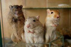 Nieuwsgierige gerbils Pet Rodents, Hamsters, Gift From Heaven, Super Cute Animals, Small Animals, Guinea Pigs, Rats, Mammals, Habitats