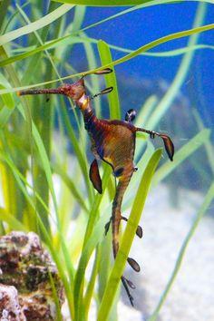 Phyllopteryx taeniolatus / Dragón de mar / Sea Dragon / Underwater life | par javimetal7