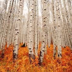birch trees by ida