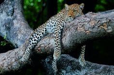 C фотоаппаратом на леопарда — National Geographic Россия