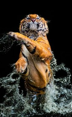 Animal Wallpaper - Hello my page Tier Wallpaper, Animal Wallpaper, Mobile Wallpaper, Wallpaper Pictures, Nature Animals, Animals And Pets, Cute Animals, Wild Animals, Tiger Pictures