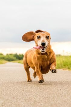 A miniature smooth haired #dachshund running towards the camera.