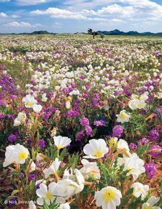 arizona wildflower landscape | Wildflowers by Nick Berezenko