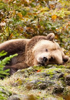 These guys wander around my back yard yup This is BC . Animals And Pets, Baby Animals, Cute Animals, Wild Animals, Bear Pictures, Animal Pictures, Beautiful Creatures, Animals Beautiful, Baby Panda Bears