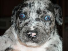 Small Catahoula puppy