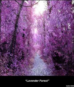 Lavender Forest by Jennifer Dexter-Baker