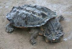 Weird creatures - the Mata Mata turtle