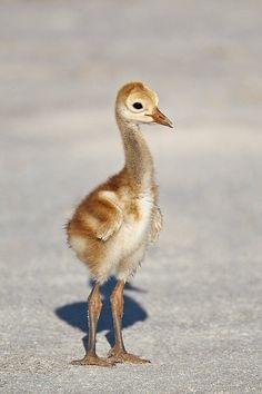 Sandhill Crane chick, Indian Lake Estates, FL