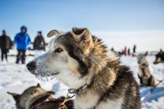 A dog in Burmeister's team waiting for a bed of straw after arriving in White Mountain on Tuesday afternoon.