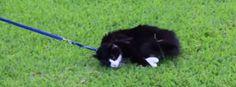 Esto es lo que pasa cuando sacas a un gato de paseo como si fuera un perro