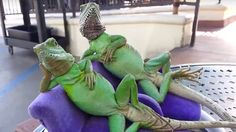 Just Two Lizards Relaxing On Their Little Lazy Lounge Chairs… Wait, What?