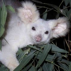 White phase of Greater Glider (Photography Queensland Museum) Unusual Animals, Rare Animals, Animals And Pets, Odd Animals, Strange Animals, Wild Book, Bird People, Indigenous Art, Fauna